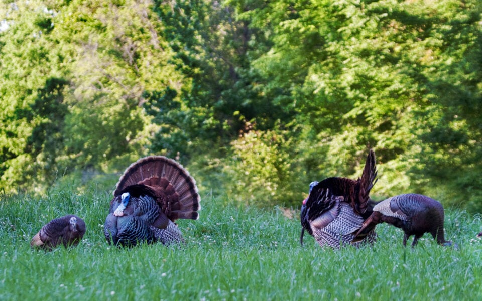 southern wild turkey populations