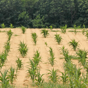 6 Tips for Drought Proofing Food Plots
