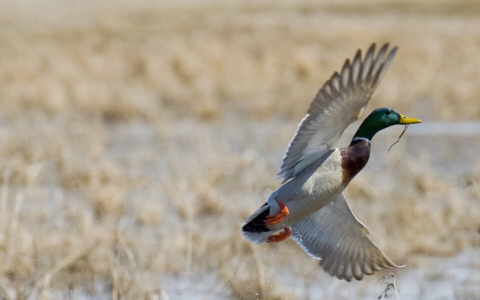 what to plant for waterfowl