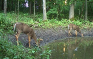 whitetails drinking water