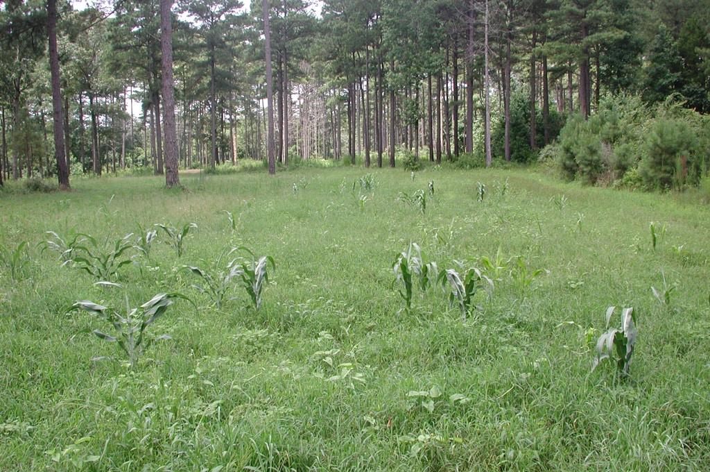 weeds in summer food plot