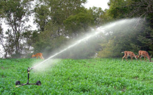 drought proofing food plots
