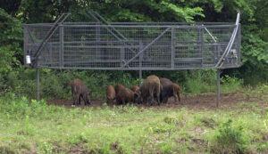 Boarbuster-hog-trap