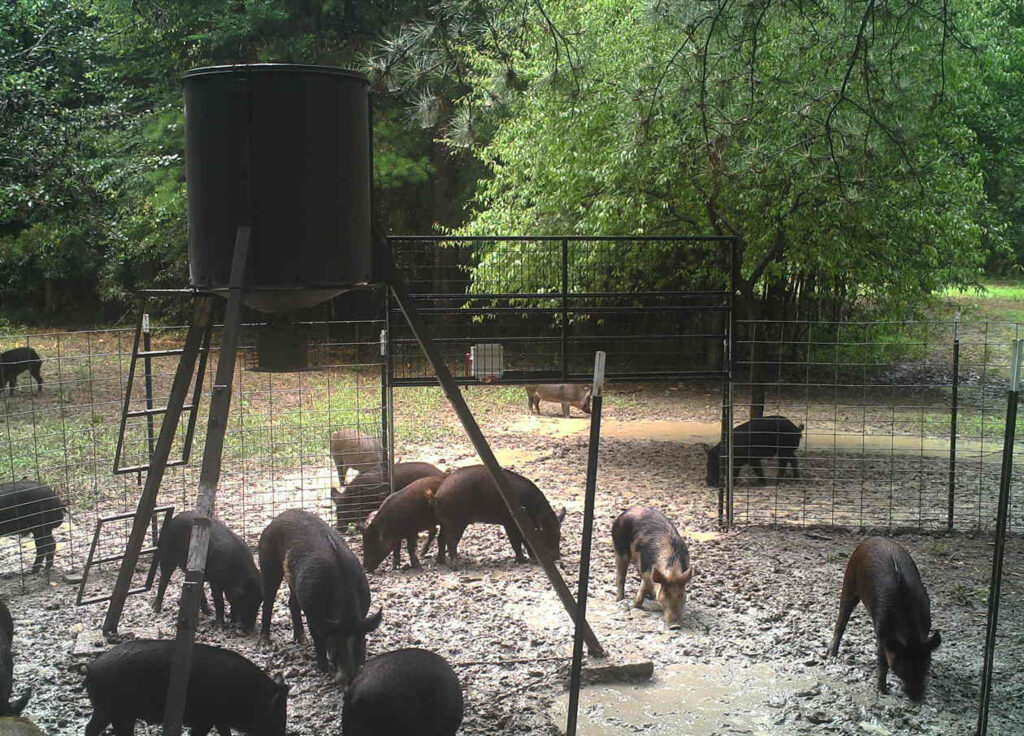 Pigs-in-trap
