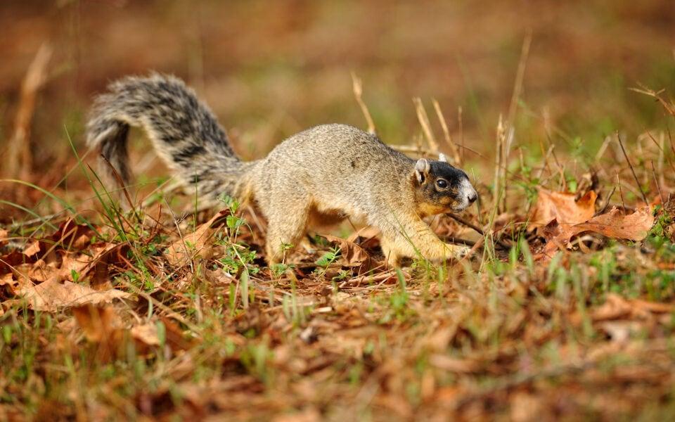 Species-profile-fox-squirrel