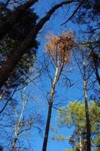 dead-pine-tree