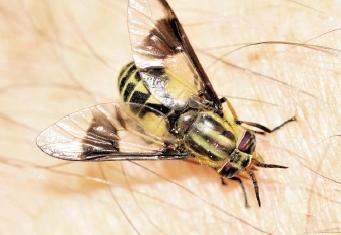 flying pest