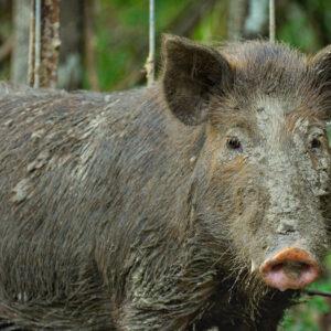 The Feral Hog Predicament