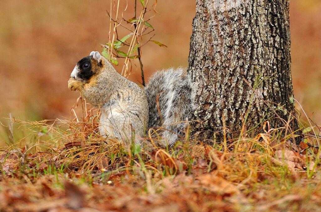 fox-squirrel