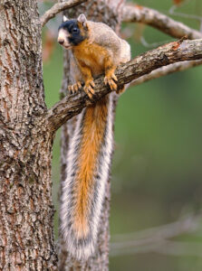 fox-squirrel-in-tree