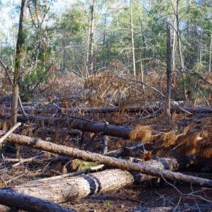 Pine Bark Beetles