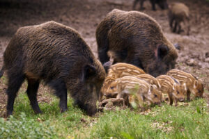 feral-hog-with-young