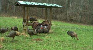 turkeys-at-feeder