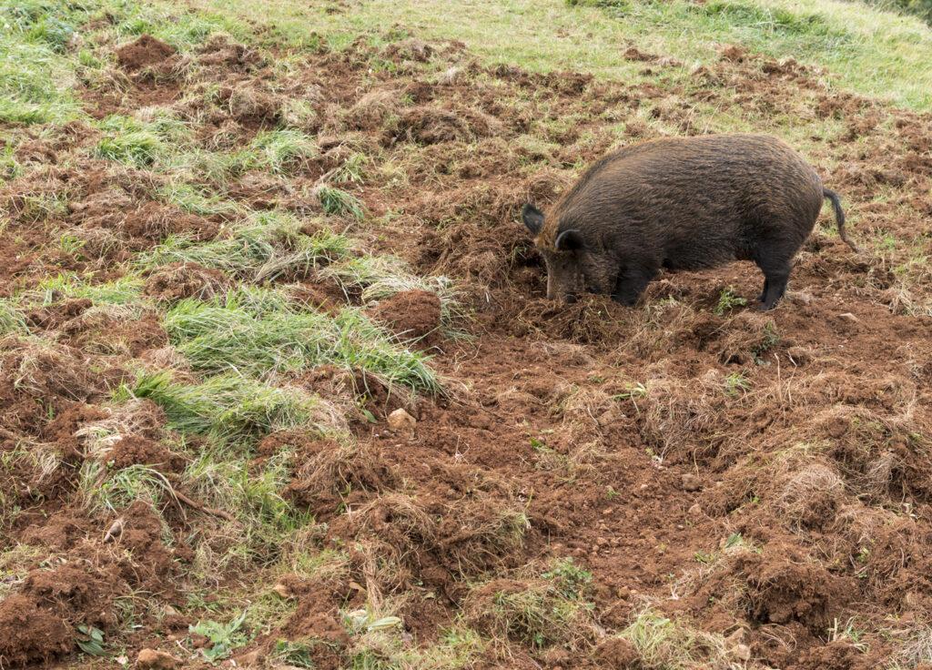 wild-hog-rooting