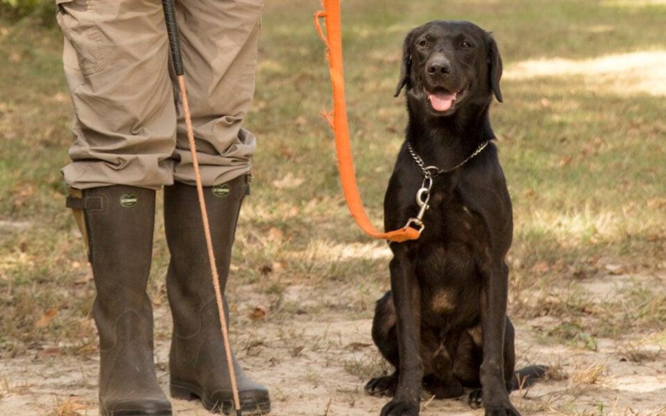 Gundog-Training-proper-use-of-a-heeling-stick