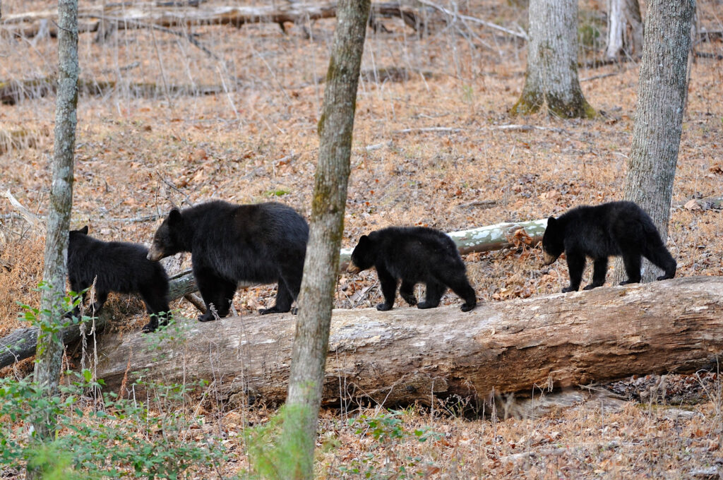 Species-Profile-Black-Bear
