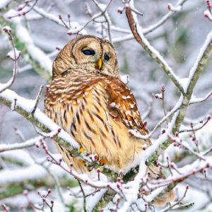Species Profile: Barred Owl