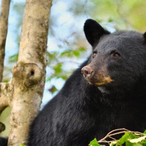 Species Profile: Black Bear