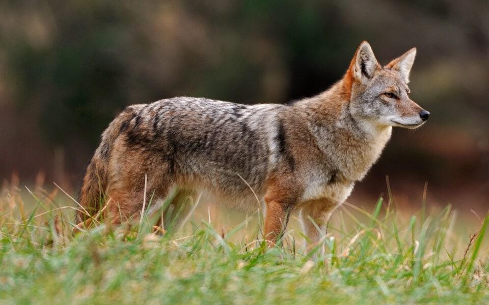coyote-in-field