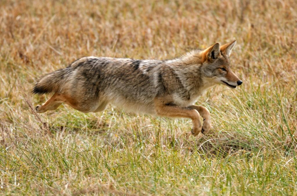 coyote-running