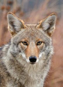 species-profile-coyote