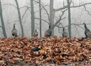 turkey-in-trees
