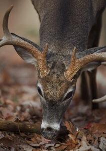 whitetail-deer-eating-mast