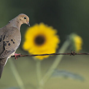 Creating a Reliable Dove Field