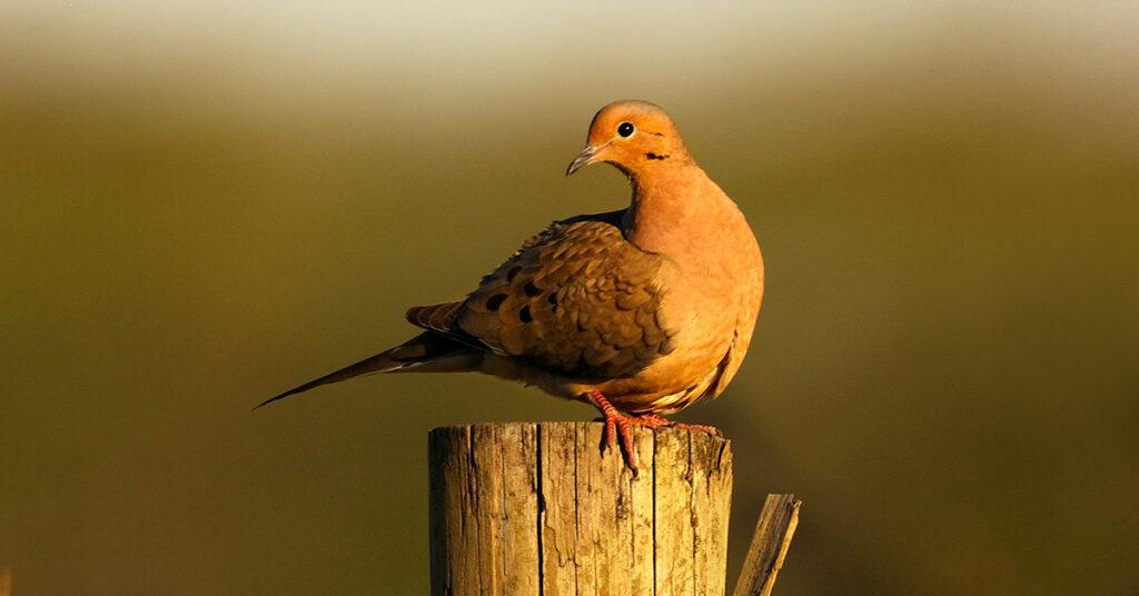 mourning-dove-on-fence