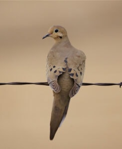 mourning-dove-on-wire