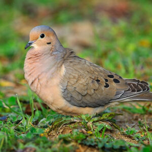 Species Profile: Mourning Dove