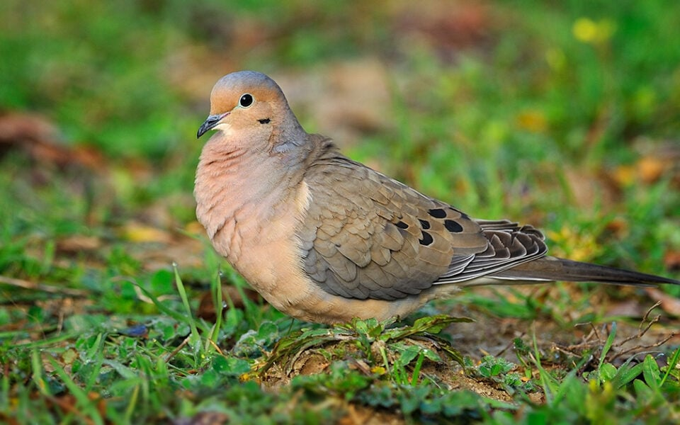 species-profile-mourning-dove